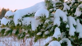Christmas tree under the snow. A branch of a Christmas tree with drops of water. Winter landscape. Pine branch tree. Under snow. Tree branches with cones under stock video footage