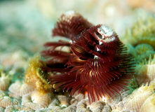 Christmas Tree Worm Royalty Free Stock Photography