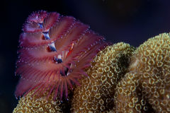 Christmas Tree Worm Stock Photography