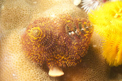 Christmas tree worm Royalty Free Stock Images