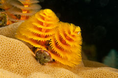 Christmas tree worm  Stock Images
