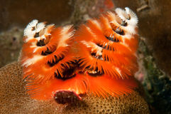 Free Christmas Tree Worm Royalty Free Stock Photography - 19846047