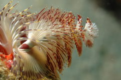 Christmas Tree Worm Royalty Free Stock Photos