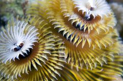 Free Christmas Tree Worm Stock Images - 7459914