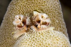 Christmas tree worm Royalty Free Stock Photo