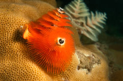 Christmas tree worm coral Stock Images
