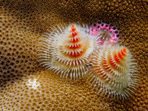 Christmas tree worm on a coral reef stock image