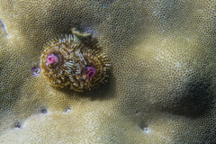Christmas tree worm Stock Image