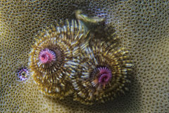 Christmas tree worm Royalty Free Stock Image