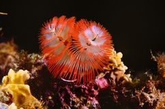 Christmas tree worm of red and white crown royalty free stock image
