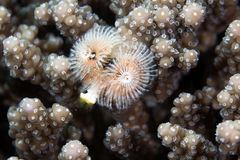 Christmas tree worm (spirobranchus giganteus) in the Red Sea. Royalty Free Stock Photo