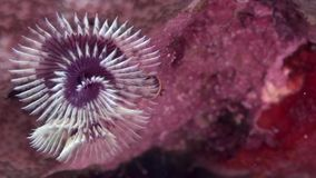 Christmas tree worm Spirobranchus sp1 in coral of Red sea Sudan. Sanganeb stock video footage