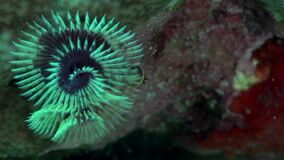Christmas tree worm Spirobranchus sp1  in coral of Red sea Sudan. Sanganeb stock footage