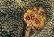 Christmas Tree Worm & Star Coral Stock Image