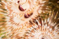 Christmas tree worm underwater detail Stock Photos