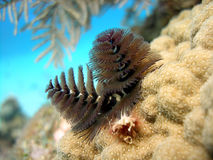 Christmas Tree Worms. A beautiful pair of Christmas Tree worms fully exposed from their tubes hidden down inside this coral head.  They filter the water with the Royalty Free Stock Photos
