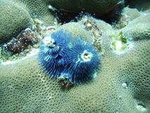 Christmas tree worms. Blue christmas tree worms on a piece of hard coral royalty free stock image