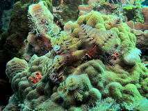 Christmas Tree Worms Royalty Free Stock Photography