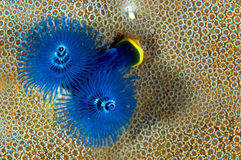 Christmas tree worms Stock Image
