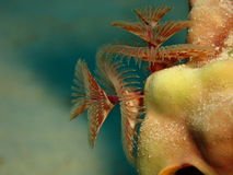 Christmas tree worms. Red christmas tree worms on a yellow coral stock photo