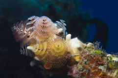 Christmas tree worms Royalty Free Stock Images