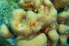 Christmas tree worms and coral Stock Image