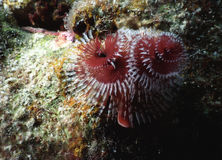 Christmas Tree Worms Stock Photo