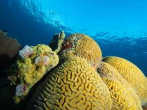 Christmas tree worms in mustard hill coral Stock Images
