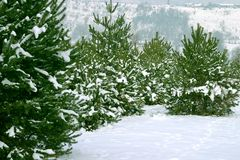 Christmas Trees 1. Natural Christmas Trees Royalty Free Stock Images
