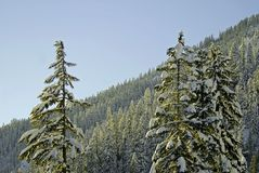 Christmas Trees. Trees and snow in Alpental, WA Royalty Free Stock Image