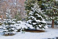 Christmas Trees. Beutiful Christmas Trees in Snow Stock Photography