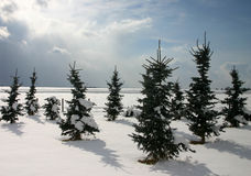 Christmas trees. Firs in a tree nursery stock photo