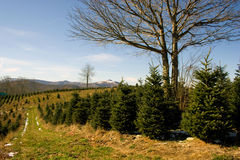 Christmas Trees. Christmas tree farm in the mountains of North Carolina Stock Image