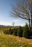 Christmas Trees. Christmas tree farm in the mountains of North Carolina royalty free stock photography