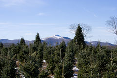 Christmas Trees. Christmas tree farm in the mountains of North Carolina royalty free stock photo
