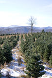 Christmas Trees. Christmas tree farm in the mountains of North Carolina Royalty Free Stock Image