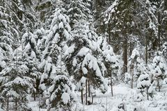 Christmas trees are beautifully snowy snow royalty free stock photography