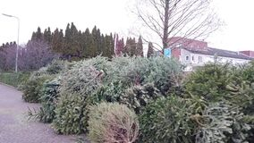 Christmas trees are collected for 50 cents per Christmas tree to shred sustainably in the Netherlands