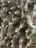 Christmas trees. Cut down and prepared for dispatch Save our planet , buy  your christmas tree with roots and plant it after the holiday Royalty Free Stock Photography