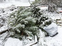 Christmas trees in dumpster after christmas royalty free stock photos