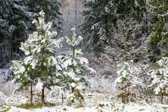 Christmas trees in early spring time forest. Royalty Free Stock Photos