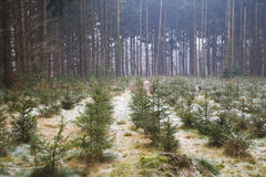 Christmas trees in the forest stock photography