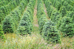 Christmas Trees Growing in Oregon's Willamette Valley Royalty Free Stock Image