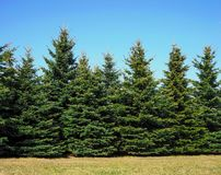 Christmas trees growing in the park stock image