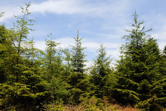 Christmas trees in nature Stock Photo