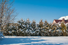 Christmas trees near the house in winter outdoors Royalty Free Stock Image