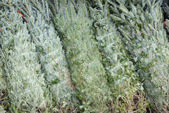 Christmas Trees packed ready for sale Stock Photos