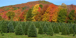 Christmas trees. At a pine plantation in daylight in fall stock photos