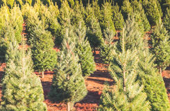 Christmas trees on the red ground in the farm ,country side. Royalty Free Stock Image