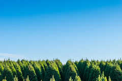 Christmas trees on the red ground in the farm ,country side. Stock Photos